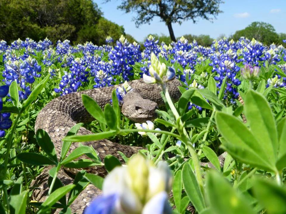 Austin Bluebonnet Photographers Beware Callahan S