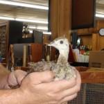 Baby Peacocks Have Landed At Callahan's – Callahan's General Store